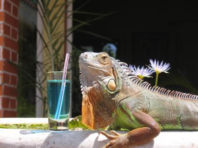 Mi Iguana descansando